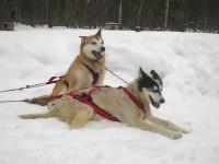 Alaskische Schlittenhunde